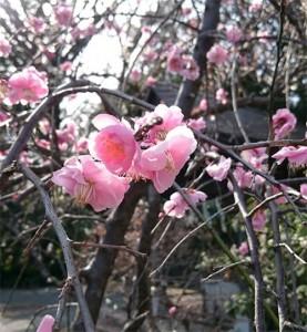 梅が綺麗に咲いていました